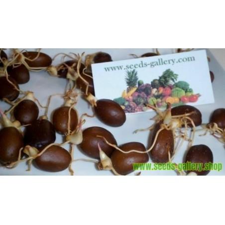 Salakpalme - Schlangen frucht Samen Exotische Fruchte
