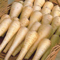 Pannonian smooth parsnip seeds