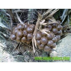 Semillas de Fruta serpiente (Salacca zalacca)
