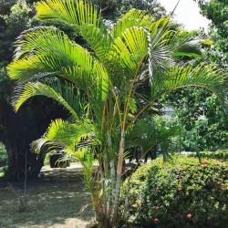 Golden cane palm seeds...