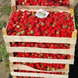 Σπόροι φράουλας APRICA