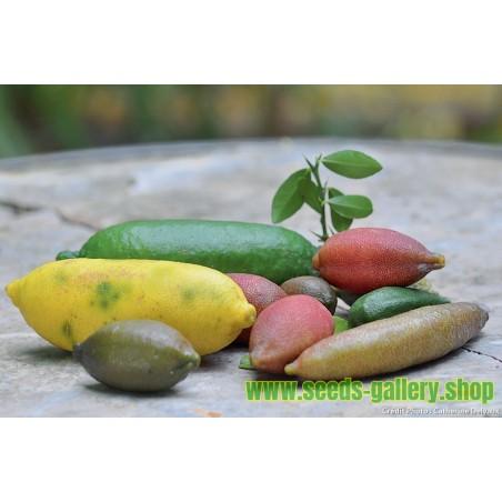Finger Lime Seeds (Citrus australasica)