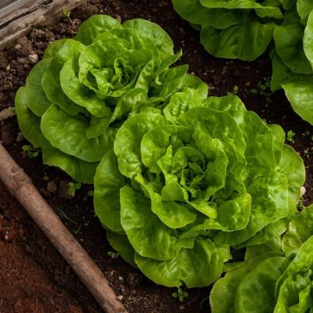 Semințe de salată de cap de primăvară Vuka