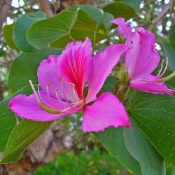 Гонконгське дерево орхідеї...