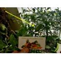 Graines Ficus Benghalensis