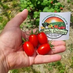 Graines de tomate cerise...