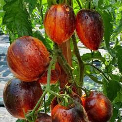 Semi di pomodoro Gargamella