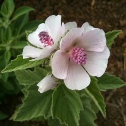 Marsh-mallow Seeds (Althaea...