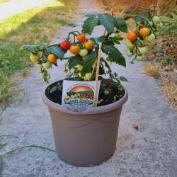 Dwarf rajčat Semena Evita