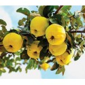Semillas de Frambuesa (Rubus idaeus)
