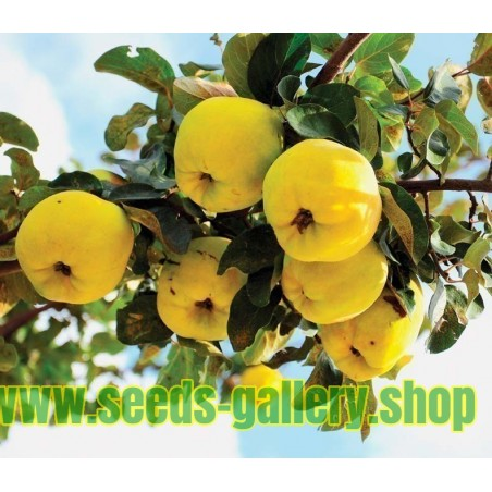 Malina Seme - Lekovita Biljka (Rubus idaeus)