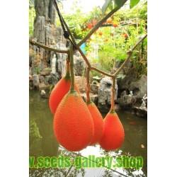 Frön Gac Frukt (Momordica, cochinchinensis)