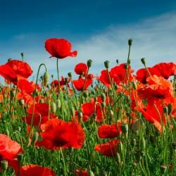 Red poppy Seeds (Papaver...