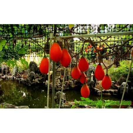 Feijoa - Feijoasläktet Frön