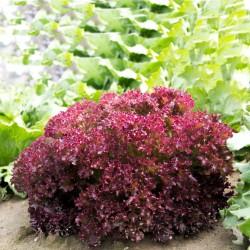Seme Salate Lollo Rossa...