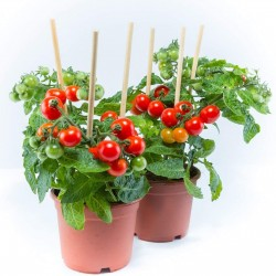Sementes de Tomate Bajaja