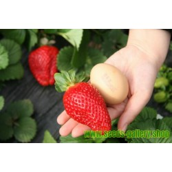 Giant strawberry seeds