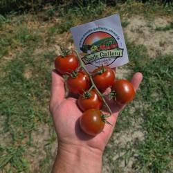 Семена томатов Кампари