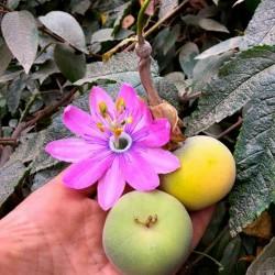 Tauso Samen (Passiflora...