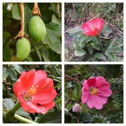 Tumbo Samen (Passiflora mixta)