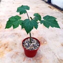 Σπόροι Jatropha curcas