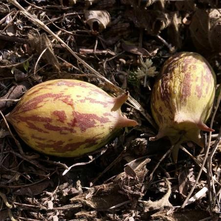 Насіння гранадіни (Jarilla heterophylla)