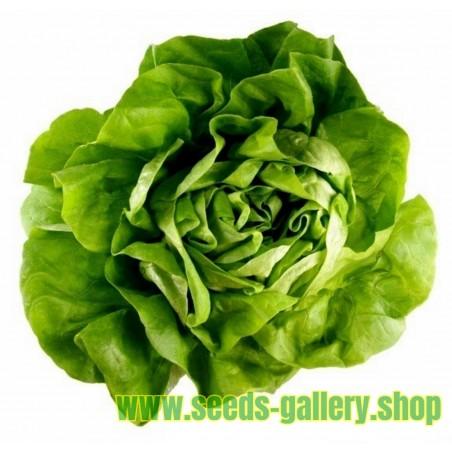 Butterhead Lettuce Seed ATTRACTION
