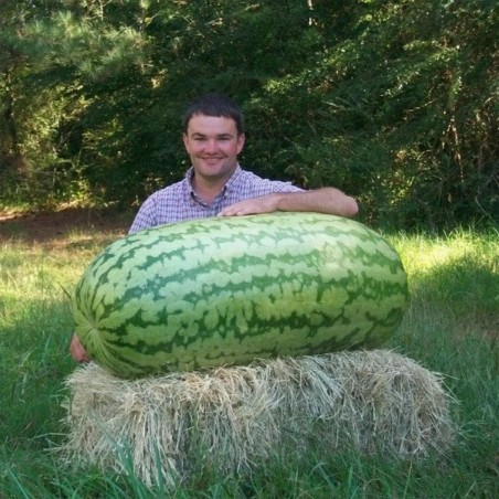 Jätte vattenmelonfrön