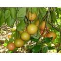 Graines de Piments Jalapeño M (Capsicum annuum)