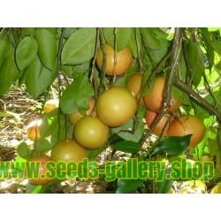 Grapefruit Red Seed (Citrus × paradisi)