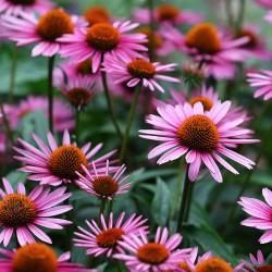 Purple coneflower seeds...