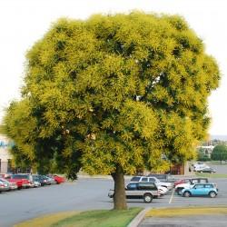 Goldenrain tree seeds...