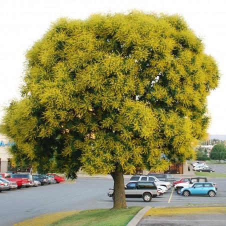 Goldenrain tree seeds (Koelreuteria paniculata)