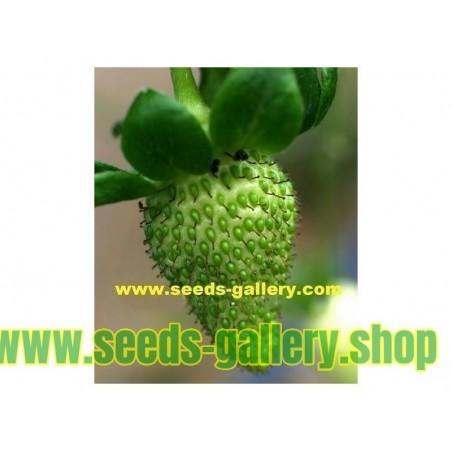 Πράσινο φράουλα σπόρων - εξωτική εμφάνιση