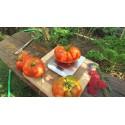 Sementes de tomate Beefsteak