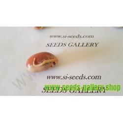 Jackfruit Seeds (Artocarpus heterophyllus)