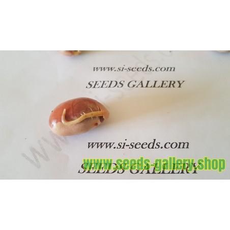 Jackfrukt Frön (Artocarpus heterophyllus)
