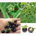 Jaltomato Seeds (Jaltomata Procumbens)