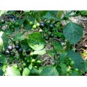 Graines de Mimosa pudique ou Sensitive