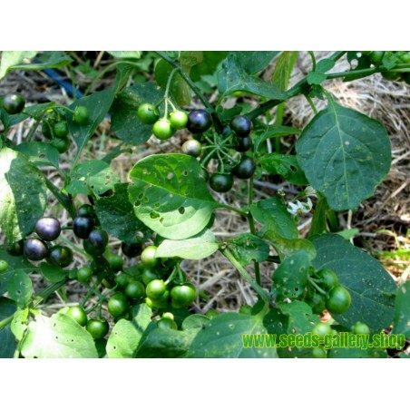 Semi di Jaltomata procumbens Frutta esotica