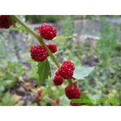 Echter Erdbeerspinat Samen