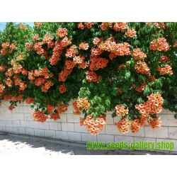 Sementes de Trombeta tolerar temperaturas até -34 °C. (Campsis radicans)