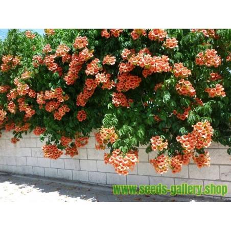Σπόροι Campsis radicans Χάρντι με -34 ° C.