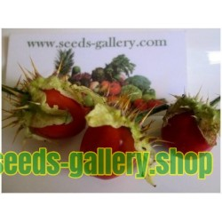 Litchi σπόρων ντομάτας