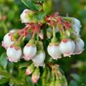 Eukalyptus gunnii Samen (Cider Gum Tree) Winterhart
