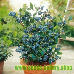 Lowbush Blueberry Seeds (Vaccinium angustifolium)