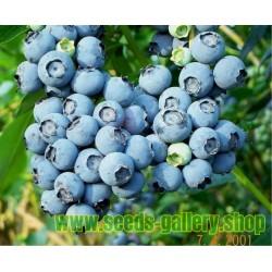 Graines de Bleuet (Vaccinium angustifolium)