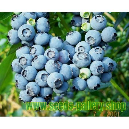Amerikanska blåbär Frö (Vaccinium angustifolium)
