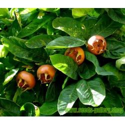 Medlar Or Common Medlar Seeds Hardy -30 ° C