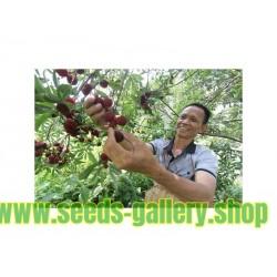 Semillas de Árbol de fresa china Yangmei y Arrayán chino (Myrica rubra)